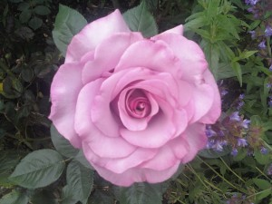 Lenet Galloway - photo of a rose